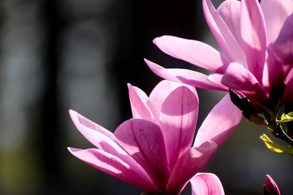 colorful magnolia