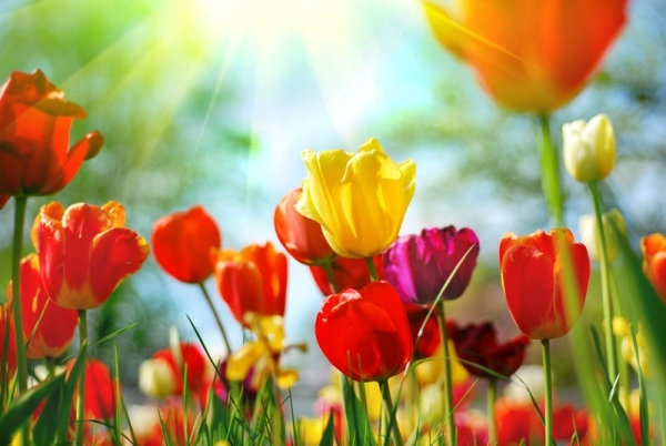 colorful tulips 01 hd pictures