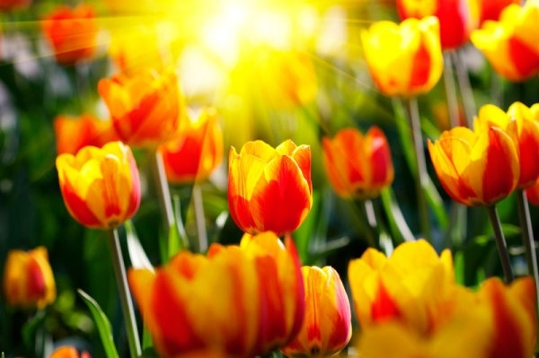 colorful tulips 02 hq pictures