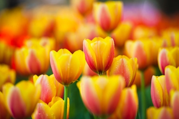 colorful tulips 05 hd pictures