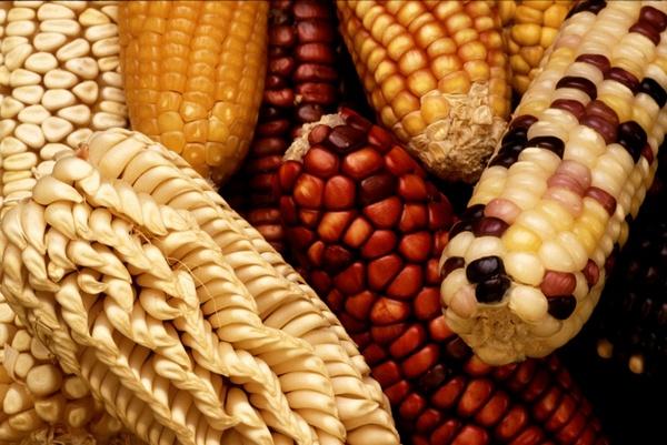 corn corn on the cob harvest