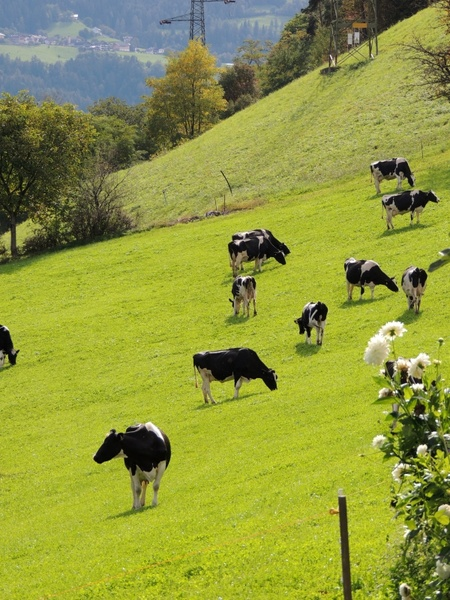 Cow Pictures Free Stock Photos Download 292 Free Stock