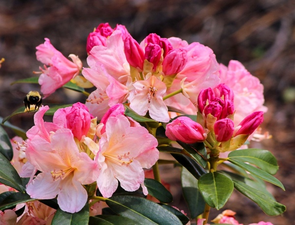 cream and pink azalea blossoms bumble bee