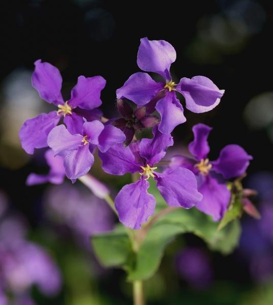 cress orychophragmus violaceus flower