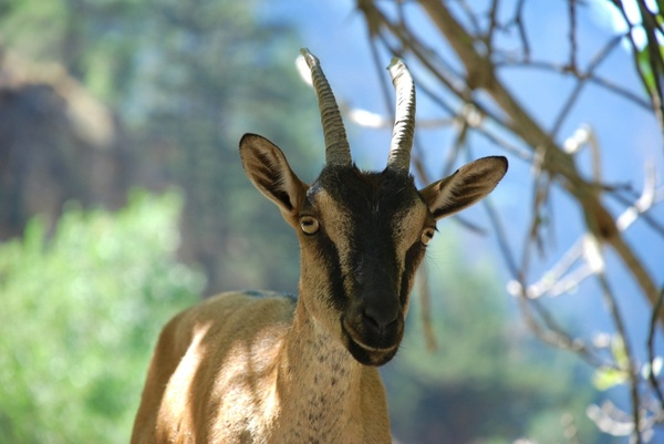 crete goat wild