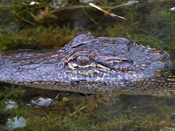 crocodile eyes wilderness