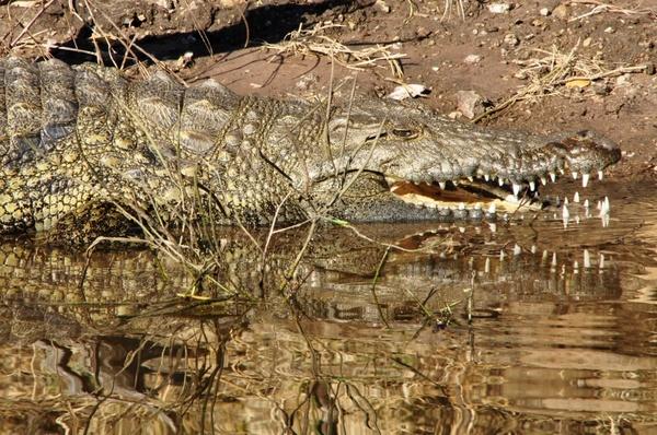 crocodile lizard reptile