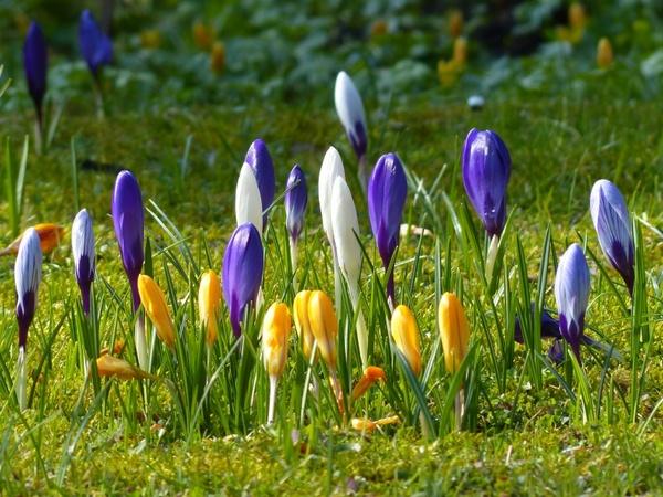 crocus yellow purple