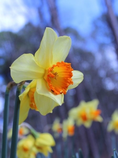 Daffodil Images Free Stock Photos Download 133 Free Stock Photos For Commercial Use Format