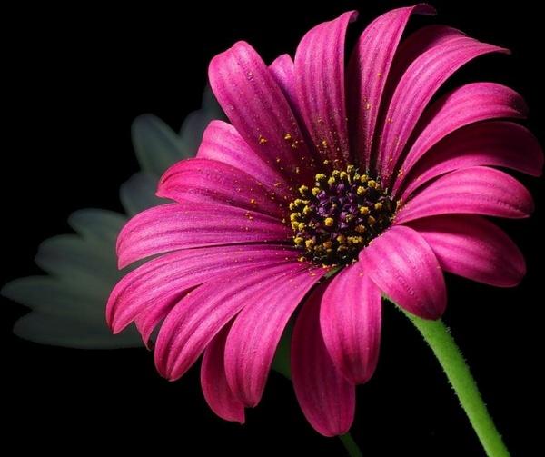 daisy pollen flower