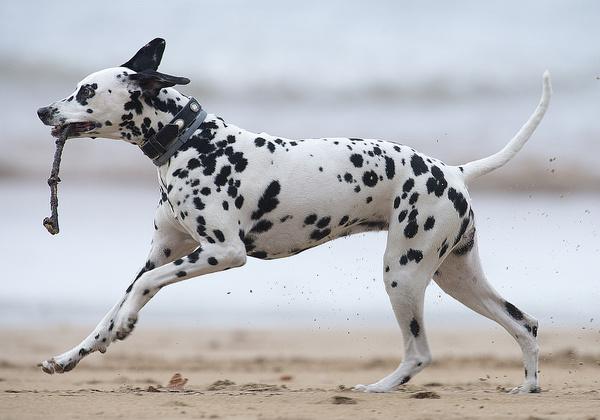 dalmatian on the beach