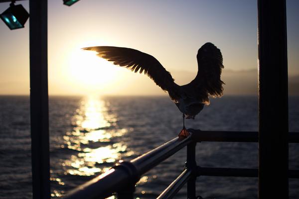 dancing seagull