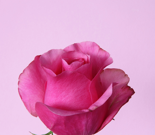 Pink rose flowers free stock photos download 12368 free stock pink rose flowers free stock photos download 12368 free stock photos for commercial use format hd high resolution jpg images mightylinksfo