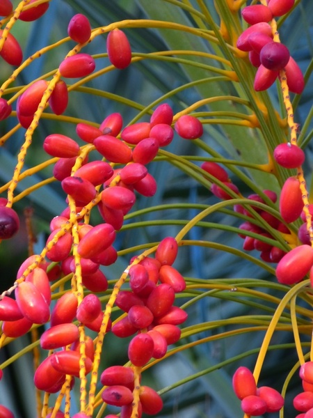 date palm fruit date palm