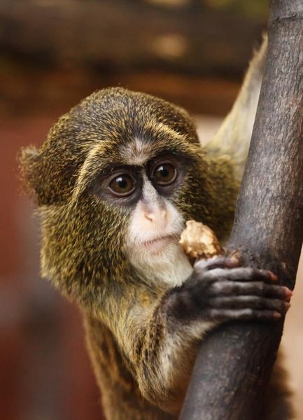 de brazza039s monkey