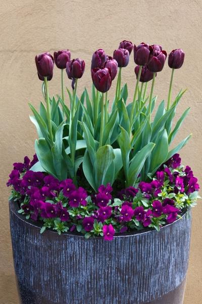 deep purple flowers in a pot