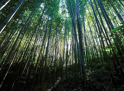 dense bamboo forest picture
