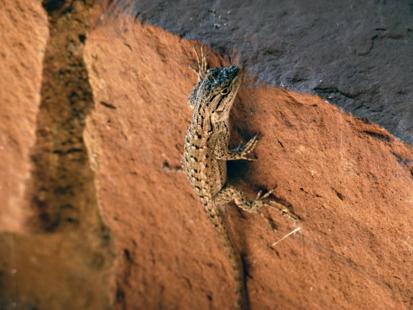 desert iguana lizard animal
