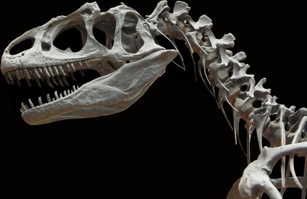 dinosaur allosaurus skeleton