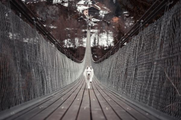 cute white dog running on wooden hanging bridge