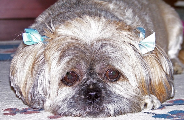 dog with bows