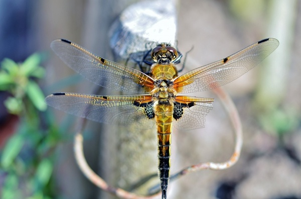 Dragonfly pictures free stock photos download (137 Free ...