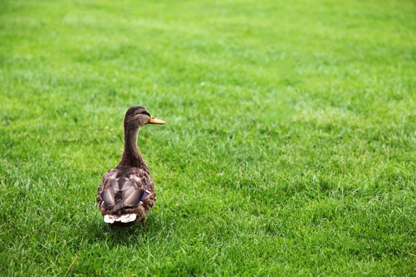 duck on green grass