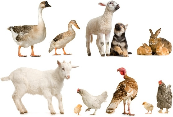 ducks and geese sheep dog rabbit chicken animal hd picture