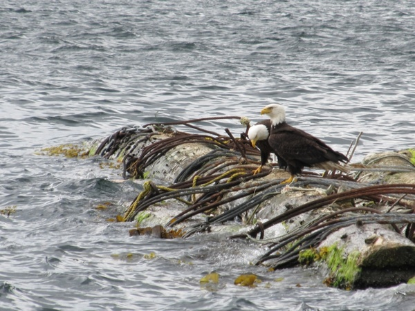 eagles on a log