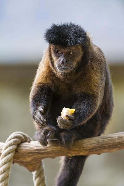 eating capuchin monkey