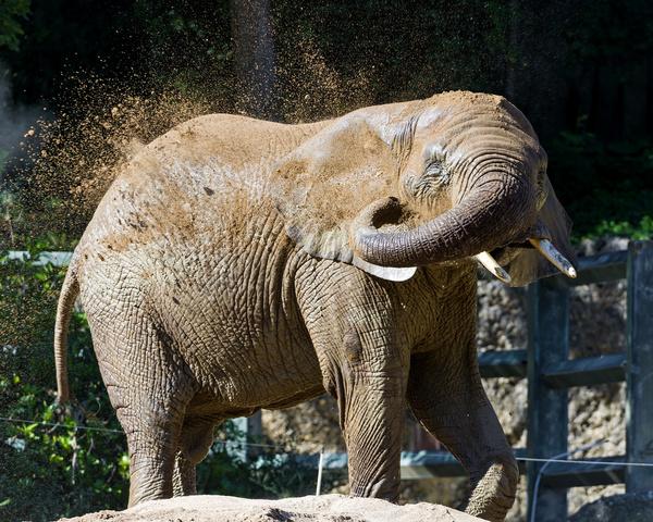 elephant throwing sand