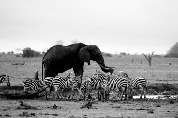 elephant zebras waterhole