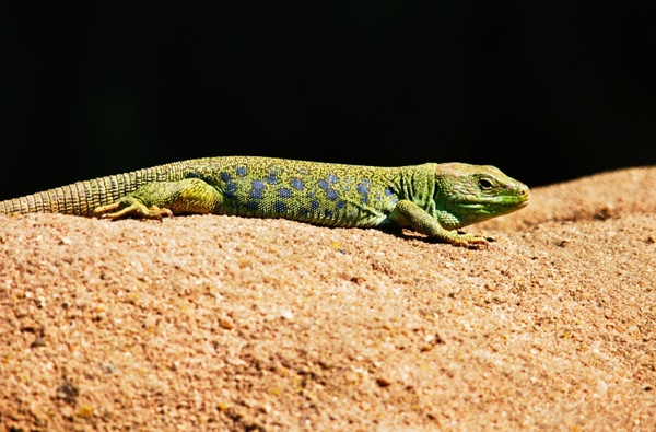 emerald lizard lizard pets