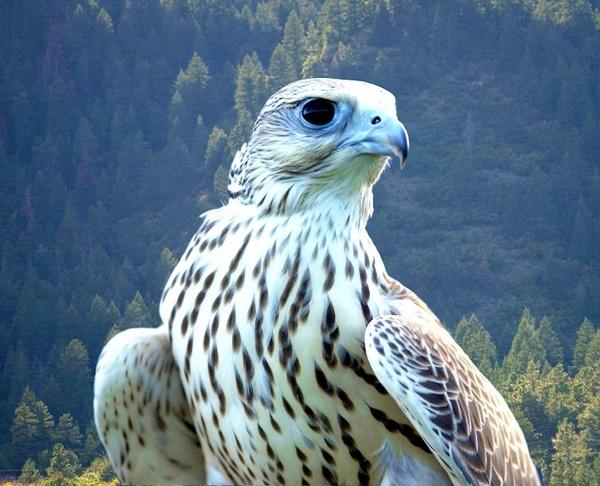 falcon white bird