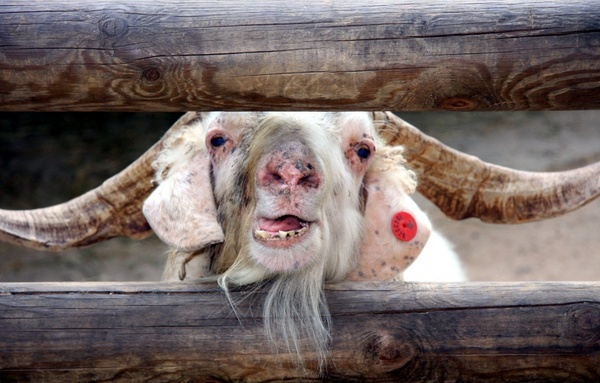 farm goat sheep