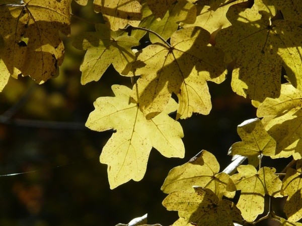 Field Maple Acer Campestre Deciduous Tree Free Stock Photos In Jpeg