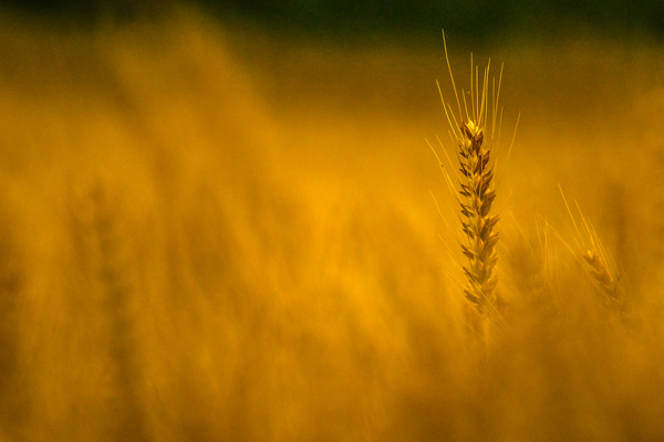 fields of gold free stock photos in jpg format for free download 8 39mb