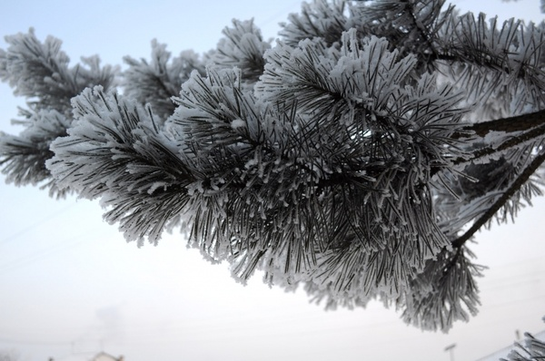 fir branch with snow