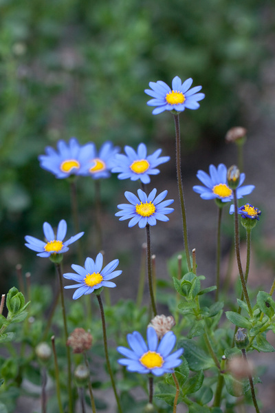 flower blue daisy free stock photos in jpg format for free