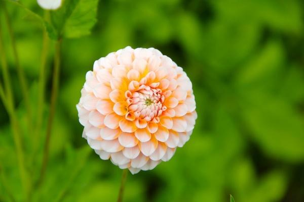 flower dahlia garden plant