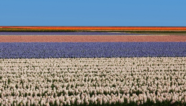 flower field in holland