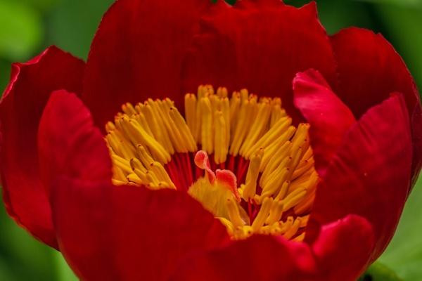 flower red flower red