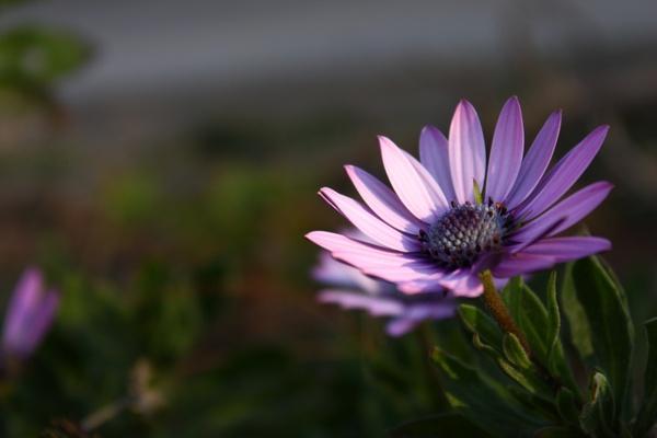 flower violet nature