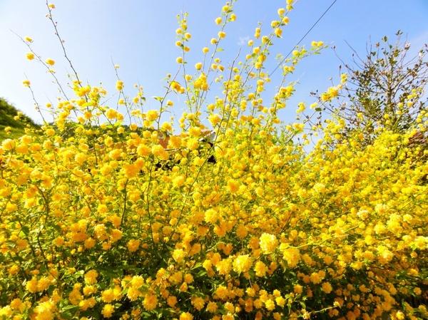 Flower yellow bush free stock photos in jpeg g 3307x2480 format flower yellow bush mightylinksfo