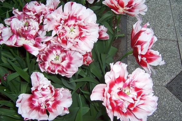 flowers in netherlands