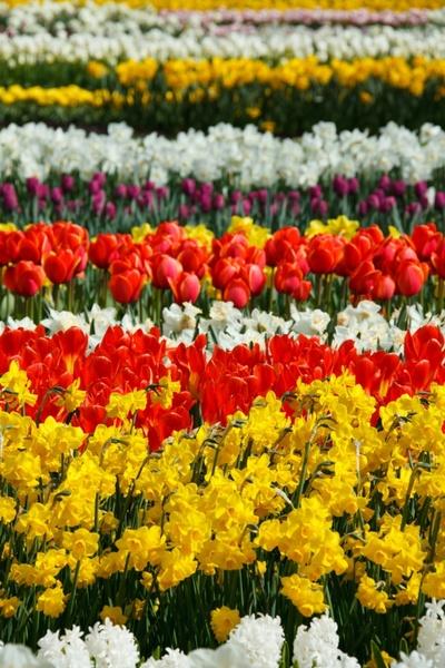 flowers in rows