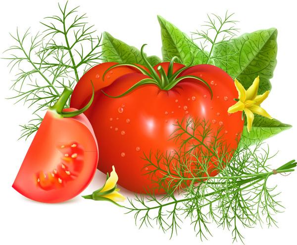 fresh tomatoes design vector