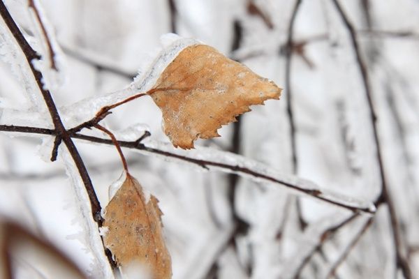 frozen leaves in winter