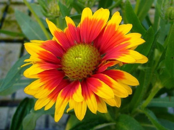 gaillardia blanket flowers perennial