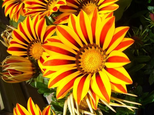 gazanias flower bright